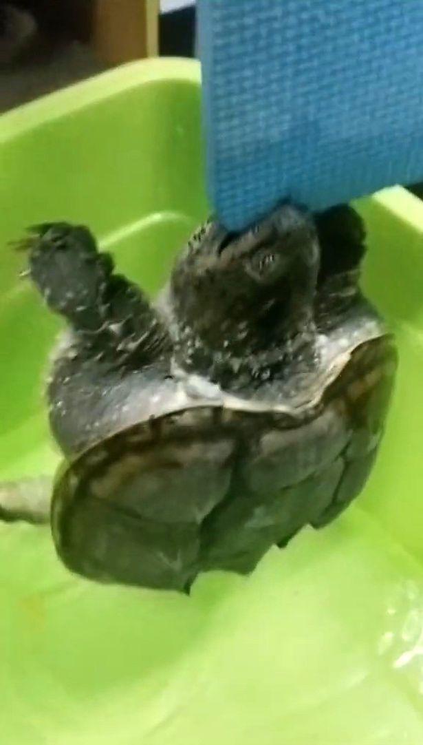 Lin sudah menyiapkan cukup air dan makanan untuk kura-kuranya