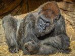 2-gorila-di-kebun-binatang-san-diego-positif-covid-19.jpg