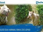 Detik-detik 2 Harimau Lepas dari Kandang, Pawang Tewas Diterkam, Awalnya Longsor di Kebun Binatang