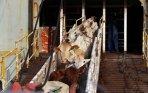 20131218_213635_sapi-dari-australia-tiba-di-tanjung-priok.jpg