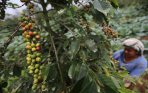 20141017_155531_petani-kopi-gunung-sinabung.jpg