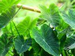 8-manfaat-daun-talas-bagi-kesehatan.jpg