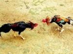 Adu-Sabung-Ayamn.jpg