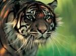 Harimau-Sumatera-1.jpg