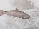 Mengenal Menfaat Ekstrak Membran Telur Ikan Salmon Bagi Tubuh