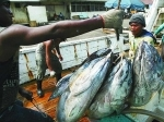 Ikan-Tuna.jpg