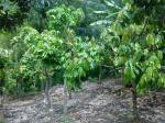 Tanamam-kakao-di-Desa-Ndungga.jpg
