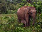 anak-gajah-lahir-di-tntn_20171126_201516.jpg