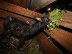 anak-kambing-hutan-sumatera_20160805_154512.jpg