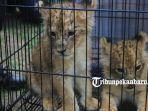 anak-singa-afrika-korban-pedagangan-hewan.jpg