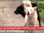anjing-kintamani_20161125_194540.jpg