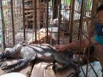 babi-berkaki-aneh-di-desa-pekuncen-kecamatan-jatilawang.jpg