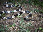 bahaya-ular-weling.jpg