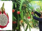 bangorejo-buah-naga-banyuwangi_20150119_181908.jpg