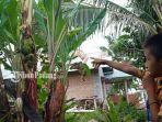 batang-pohon-pisang1111.jpg