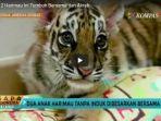 beda-induk-2-harimau-ini-tumbuh-bersama-dan-akrab_20170915_115855.jpg
