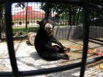 beruang-madu-kaki-buntung-diserahkan-ke-bbksda-riau_20180126_154106.jpg