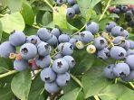 blueberry-dari-taman-pertanian-asami-di-nerimaku-tokyo.jpg