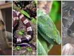 bukan-hanya-king-kobra-dan-weling-ini-deretan-ular-berbisa-dan-berbahaya-di-indonesia.jpg