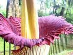 Jangan Sentuh Bunga Bangkai di Kebun Raya Bogor, Ini Aturan yang Harus Dipatuhi saat Melihatnya
