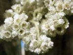 bunga-edelweiss-1.jpg