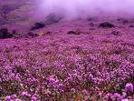 bunga-neelakurinji-bunga-langka-di-kerala-india.jpg
