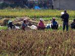 Guru Besar IPB Sebut Kementan dan Petani Sukses Kolaborasi Jaga Produksi Padi