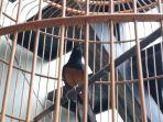 Burung Murai Batu Seharga Rp 60 Juta Mati, Warga Tasikmalaya Ini Gugat Tetangganya