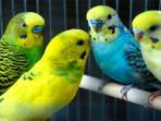 burung-parkit-nih2_20160928_150742.jpg