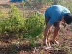 dedi-petani-di-kabupaten-jeneponto-sulawesi-selatan-lebih-memilih-mencabuti-pohon-cabainya.jpg