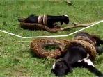 detik-detik-pertarungan-ular-piton-dengan-anak-kambing-akhirnya-ular-lari-terbirit-birit_20170418_154943.jpg