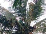 Geger Pria 65 Tahun di Karawang Lakukan Upaya Bunuh Diri, Bertahan Berjam-jam di Atas Pohon Kelapa