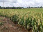 Tokoh Sumba Tengah Apresiasi Pembangunan Food Estate di NTT