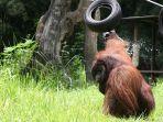 foto-pengunjung-diduga-pelempar-rokok-ke-orangutan_20180308_205024.jpg