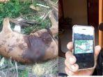 foto-sapi-jantan-yang-mati-secara-misterius.jpg