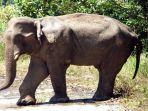 gajah-afrika.jpg