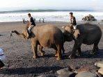 gajah-bersihkan-pantai-macesti-gianyar_20150422_165552.jpg