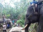 gajah-jantan_20150428_045116.jpg