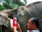 gajah-kurus-di-riau.jpg
