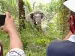 gajah-liar-yang-masu-ke-pemukiman-warga-di-desa-bumi-m.jpg