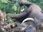 gajah-mati-kesetrum1.jpg