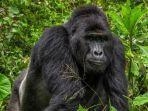 Gorila Terancam Punah di Uganda Mati Dibunuh Pemburu, Pelaku Terancam Dipenjara Seumur Hidup