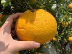 hagyul-jeruk-khas-jeju.jpg