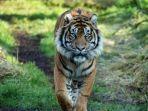 harimau-asim.jpg