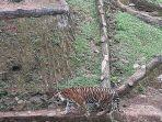 harimau-corona-sembuh.jpg