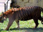 harimau-di-kebun-binatang-taman-rimba-jambi.jpg