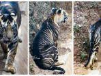 harimau-hitam-langka.jpg