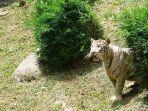 harimau-lepas-di-pontianak-2.jpg