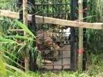 Seekor Harimau Sumatera Masuk Perangkap BKSDA Sumbar di Kabupaten Solok
