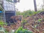 harimau-sumatera-dilepasliarkan-di-pegunungan-pulo.jpg